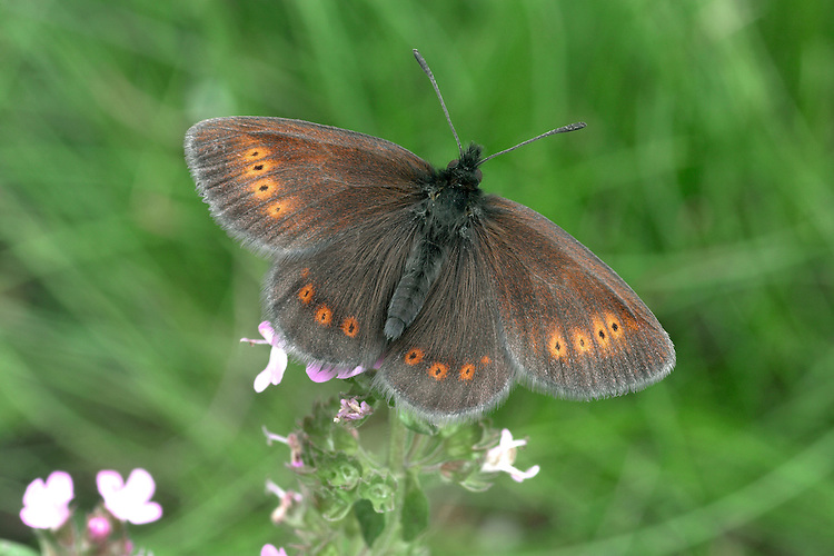 Mountain Ringlet Erebia epiphron Wingspan 32mm. A small and surprisingly delicate butterfly given the hostile upland habitats it favours. Adult has brown upperwings with an orange band marked with small eyespots. Underwings are brown overall; on forewing note broad yellow-orange central area, with small dark eyespots. Flies June–July but only active in sunshine; drops into cover immediately a cloud obscures the sun. Larva feeds on grasses. Very local on moors and mountains in Lake District and central Scottish Highlands.