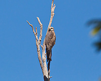 Black Kite, near Eungella NP, Queensland, Australia