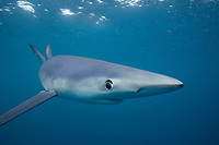 Blue shark, Prionace glauca, 6 miles off Mission Bay, San Diego, California, USA, East Pacific Ocean