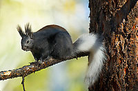 Kaibab Squirrel (Sciurus aberti Kaibabensis).   North Rim Grand Canyon National Park.