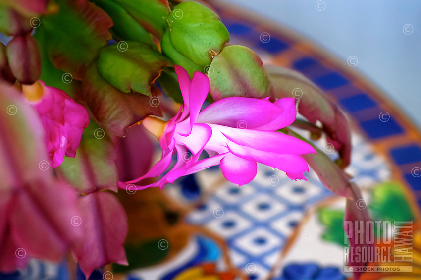A close-up of the popular house plant Christmas cactus (or Schlumbergera cultivars), Volcano, Big Island; this succulent yields flowers in white, pink, yellow, orange, red or purple and thrive in moist, cool, tropical environments.