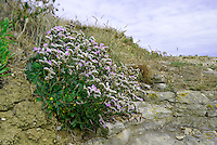 PORTLAND SEA-LAVENDER Limonium recurvum ssp. portlandicum (Height to 30cm) is entirely restricted to limestone cliffs and crags around the coasts of Portland in Dorset where it is relatively easy to find. Its pinkish lilac flowers are similar to those of Rock Sea-lavender but are borne in dense, curved sprays (Jul-Aug).