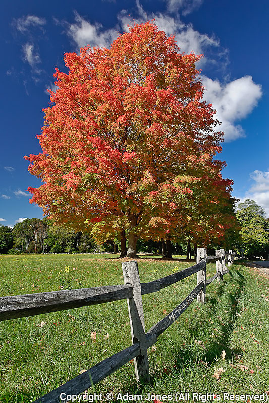 Red Maple tree in autumn colors, near Concord, Massachusetts