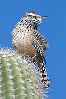 Cactus Wren (Campylorhynchus brunneicapillu) perched on Saguaro Cactus ( Carnegiea gigantea), singing; Arizona
