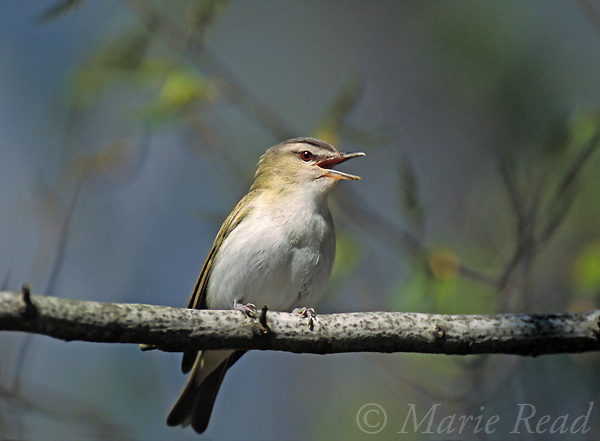 Red-eyed Vireo (Vireo olivaceus) singing in spring, New York, USA<br /> Slide B159-55