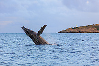 A mature humpack whale in mid-breach exhibits great power and grace, Ma'alaea Bay, west coast of Maui.