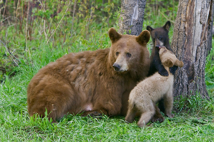 Cinnamon Black Bear cubs wrestling by their mother