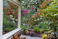 Window reflection overlooking backyard California hillside cottage garden with flowering shrubs perennials and roses - Diana Magor Garden