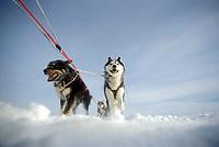 DeeDee Jonrowe's Sled Dogs on Trail 1990 Iditarod AK Yukon River near Galena