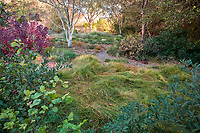 Autumn in California meadow garden with Field Sedge lawn substitute (Carex praegracilis) David Fross