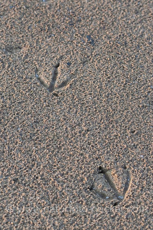 Fußabdruck, Abdruck der Schwimmfüße einer Ente im Schlamm, Sand, Trittsiegel, Fußspur, Ufer, Vogelspur
