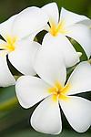 Rakiraki, Viti Levu, Fiji; Plumeria flowers, known locally as Frangipani