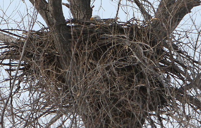 Eagle in nest, MN