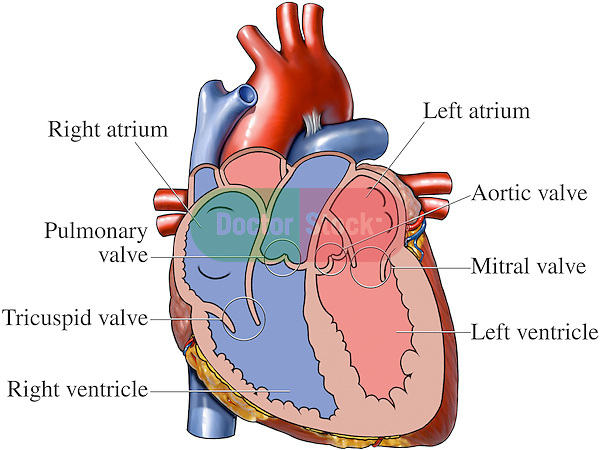 valves and chambers of the heart | doctor stock, Sphenoid