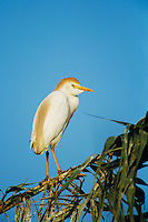 Cattle Egret, Bubulcus ibis, adult breeding plumage, Welder Wildlife Refuge, Sinton, Texas, USA, June 2005