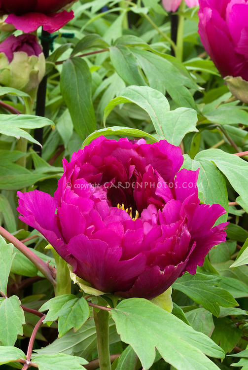 Peony Paeonia suffruticosa Rinpo tree peonies in magenta bloom in May and June