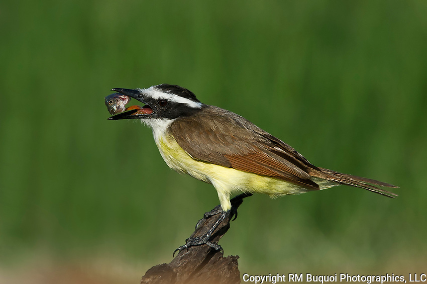 Great Kiskadee with fish