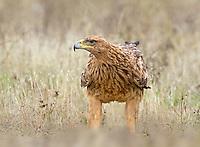 Spanish Imperial Eagle - Aquila adalberti - immature