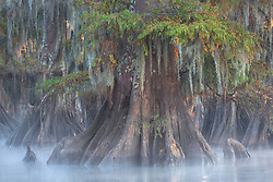 A large bald cypress photographed just before sunrise on a calm, misty morning.