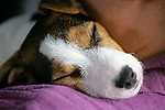 Jack Russell Terrier (Parson Terrier) Puppy