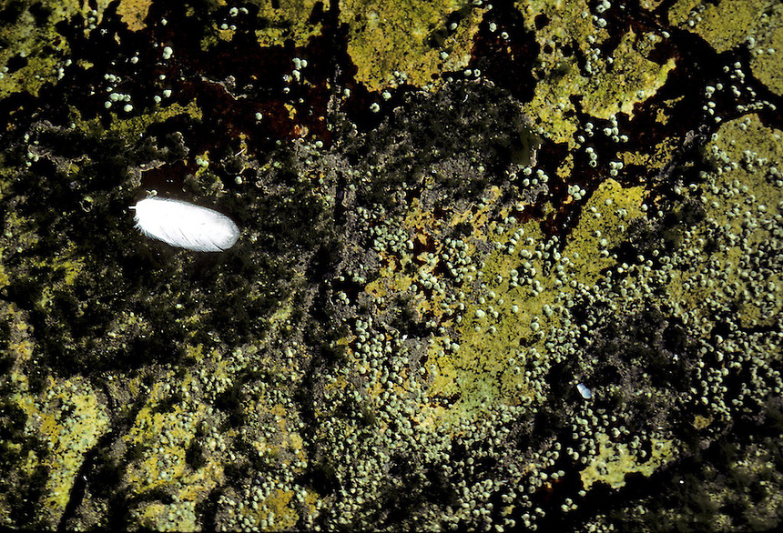 Gull feather floating in a tide pool in the intertidal zone on Appleore Island, Isles of Shoals, Maine. Photograph by Peter E. Randall