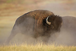 Bull Bison in Dust Cloud
