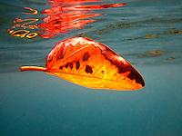 Colorful orange leaf underwater at Shark's Cove, Oahu