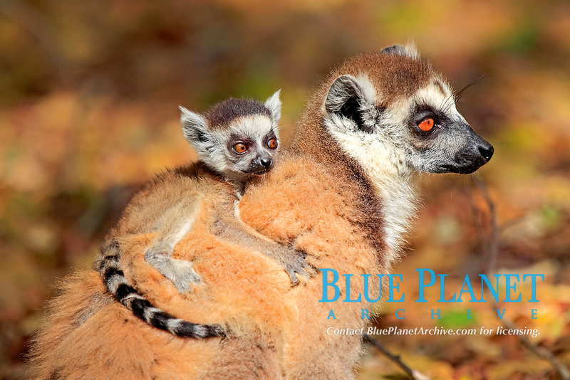 Ring-tailed Lemur (Lemur catta), mother with young, Berenty Reserve, Madagascar, Africa