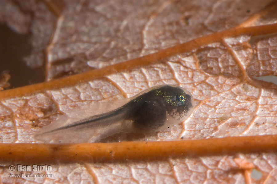 Tadpole of American bullfrog, Rana catesbeiana.  Ten days after hatching, the tadpole is about 8mm long. The skin is semi-transparent.
