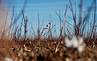 Old cotton hangs off a plant on a Frische cotton farm in Dumas, Texas, Tuesday, February 15, 2011. With the high price of cotton in recent years, many farmers in the area have switched to start farming cotton...Photo by Matt Nager
