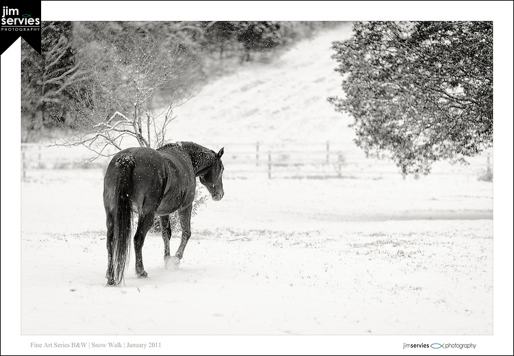My Dad and I came upon this field of horses playing in the snow.  That's probably not a big deal for most parts of the country but where we live in East Tennessee it's a rarity.  It sounded like machine gun fire with both of our cameras blazing away. Thank goodness for digital. :)