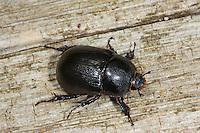 Blatthornkäfer, Pentodon idiota, Scarabaeidae