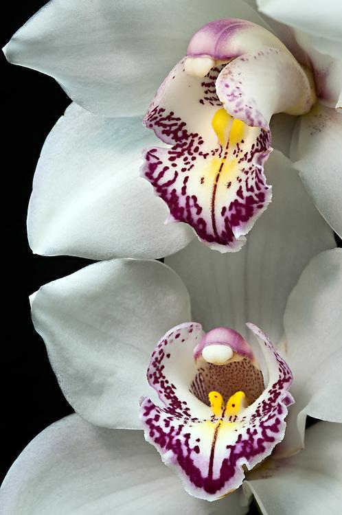 Asian Cymbidium Orchid