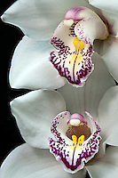 Asian Cymbidium Orchid