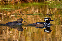 A pair of Hooded Mergansers (Lophodytes cucullatus) in old beaver pond along Hoh River, Olympic National Park, WA.<br /> Late Fall.
