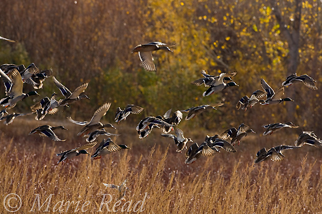 Mallards (Anas platyrhynchos) taking flight from a marsh, backlit, Bosque Del Apache National Wildlife Refuge, New Mexico, USA
