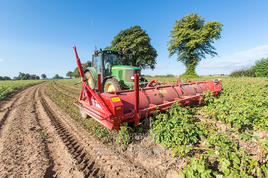 Using a six row Grimme topper to flail Agria potatoes - Lincolnshire, August