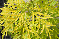 Sambucus nigra subsp. canadensis 'Goldfinch' aka Sambucus racemosa Goldfinch, native American black elderberry, foliage leaves, finely dissected and yellow