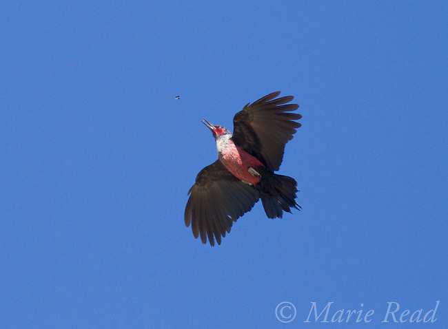 Lewis's Woodpecker (Melanerpes lewis), chasing insect in flight, Mono Lake Basin, California.