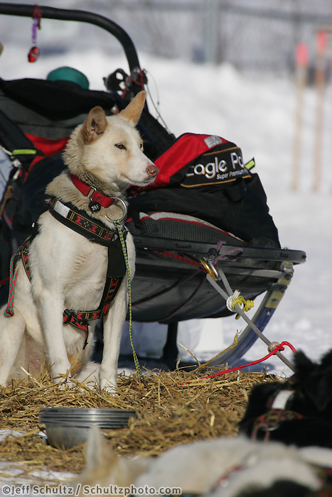 Aily Zirkle's dogs restat the Nikolai checkpoint.  2005 Iditarod Trail Sled Dog Race.
