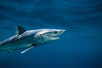 Mako shark, Isurus oxyrinchus, California, USA, East Pacific Ocean