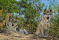 694920029 two gray wolves canis lupus relax on a shady hillside in their enclosure at a wildlife rescue facility - animals are wildlife rescue animals - species is native to northern tier of north america and is endangered in much of its home range