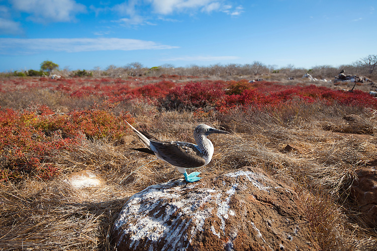 North Seymour Island in the Galapagos National Park, Galapagos, Ecuador, South America. A blue footed booby