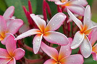 Plumaria or Frangipani bloom with rain drops. Kauai, Hawaii
