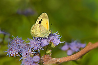390230003 a wild dainty sulphur nathalis iole perches on a flower at  the naba site in mission hidalgo county lower rio grande valley texas united states