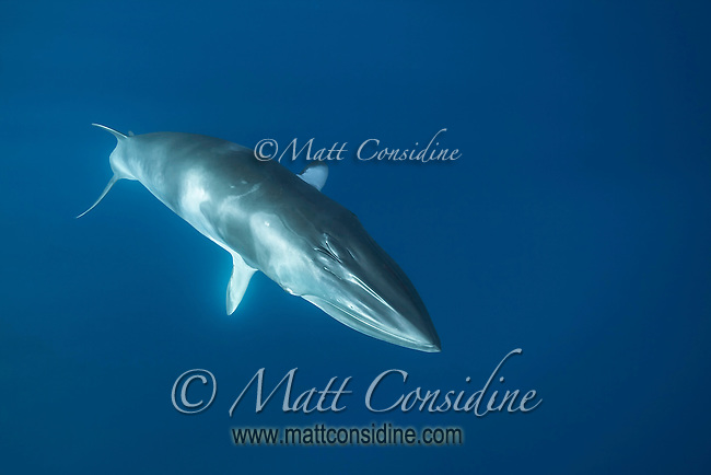 Incredible Minke Whale. (Photo by Wildlife Photographer Matt Considine)