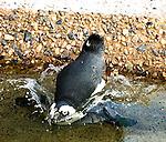 Penguin at the New Jersey State aquarium