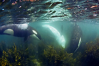 killer whale, or orca, Orcinus orca, hunting for rays in shallow water, Northland, New Zealand, Pacific Ocean