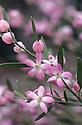 A pink Eriostemon (Eriostemon australasius) early spring. Southeastern Australia