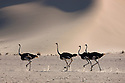 Namibia;  Namib Desert, group of ostriches running in front of sand dune